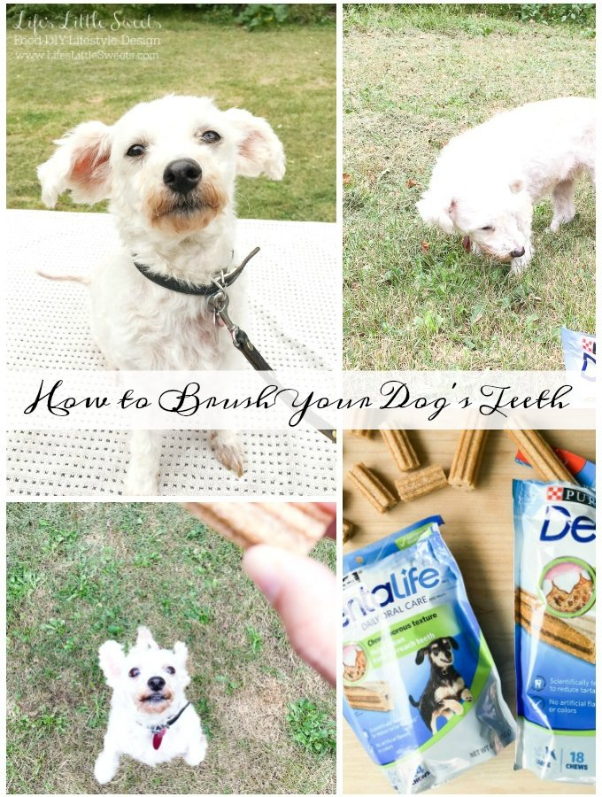 🐶Meet my dog Chloe! She's a miniature poodle and will be demonstrating How to Brush Your Dog's Teeth! She enjoys Purina DentaLife chews as apart of her dental care. #ad #BestPawForward #CollectiveBias @BeyondPetFood