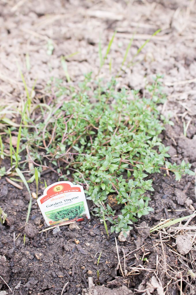 9. Garden Thyme plant   Spring Garden Update Week of 5.22.2017 www.lifeslittlesweets.com