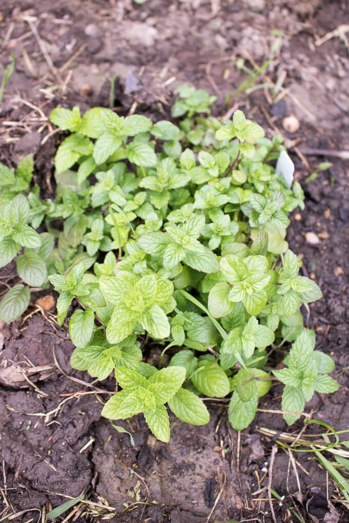 7. Mint   Spring Garden Update Week of 5.22.2017 www.lifeslittlesweets.com