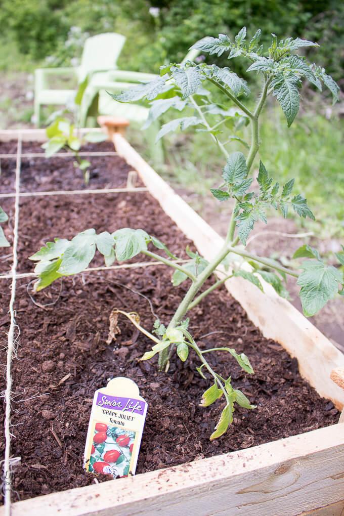 "3. ""Grape Juliet"" Grape Tomato Plant   Spring Garden Update Week of 5.22.2017 www.lifeslittlesweets.com"
