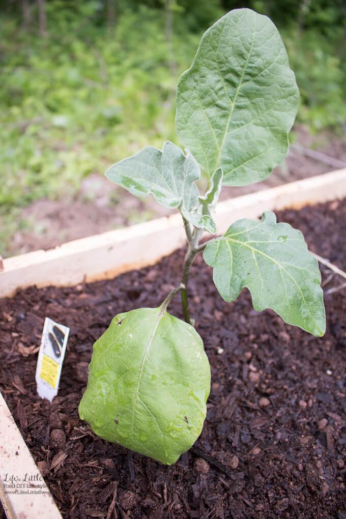 58. Eggplant   Spring Garden Update Week of 5.22.2017 www.lifeslittlesweets.com