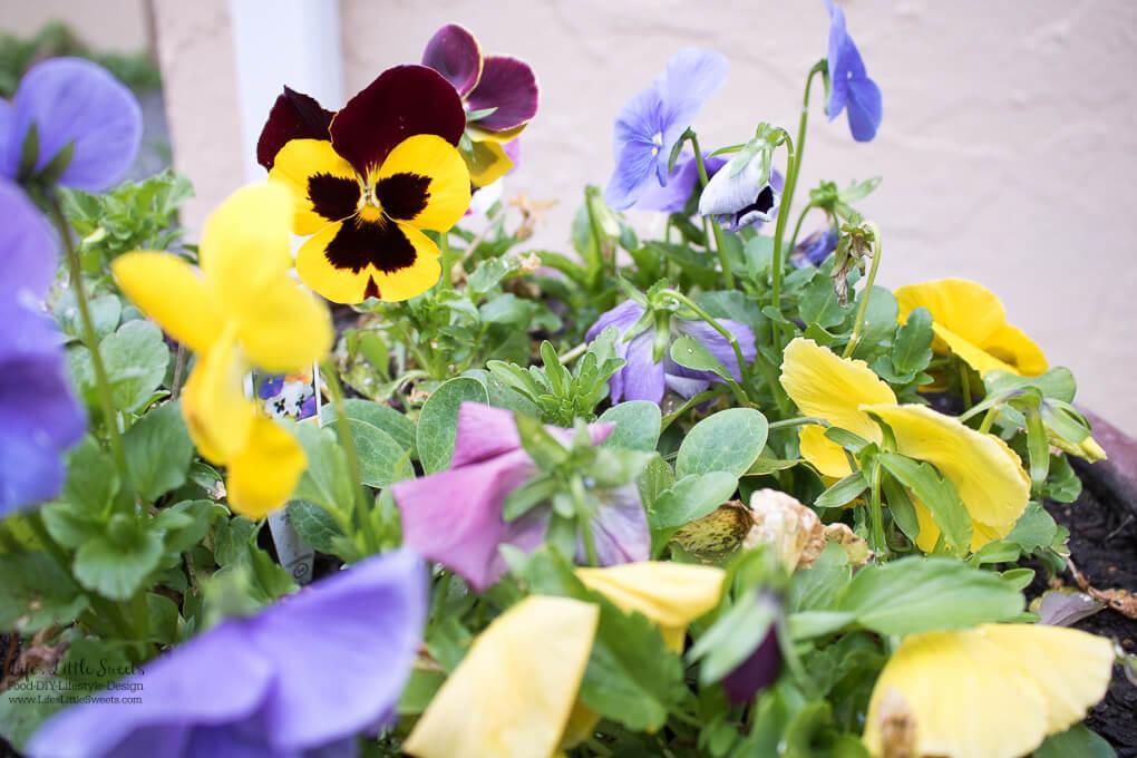 54. Jumbo pansies   Spring Garden Update Week of 5.22.2017 www.lifeslittlesweets.com