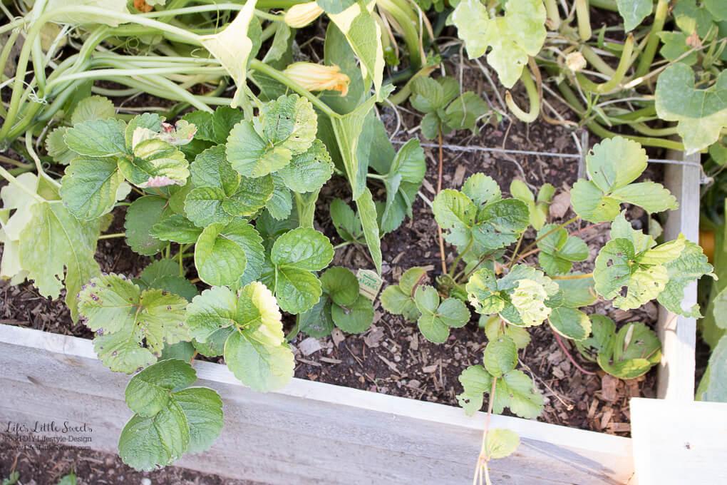 September Garden Update - Strawberry plants