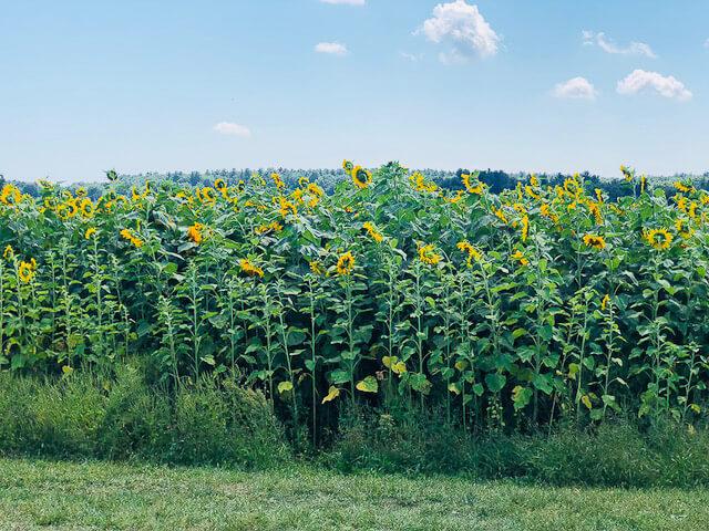 Applecrest Farm Hampton Falls New Hampshire. Sunflower maze, apple cider donuts, ice cream, bouncy house, farm market, petting zoo, live music, cafe and fun! (40 photos) #applecrest #travel #NewHampshire #farmmarket #farm #sunflowers
