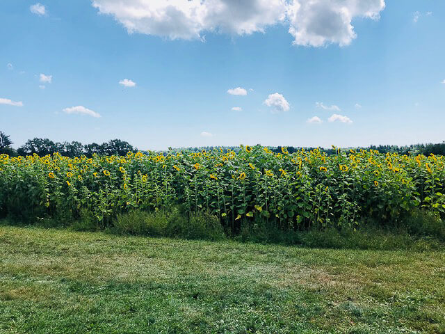 Applecrest Farm Hampton Falls New Hampshire. Sunflower maze, apple cider donuts, ice cream, bouncy house, farm market, petting zoo, live music, cafe and fun! (40 photos) #applecrest #travel #NewHampshire #farmmarket #farm #sunflowers
