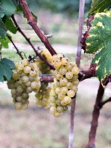 2018 Chardonnay Grape Harvest