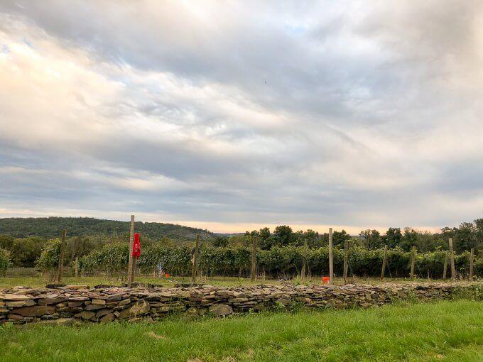 2018 Chardonnay Grape Harvest #harvest #grapeharvest #njvineyard #vineyard #Chardonnay #mjclovisvineyard
