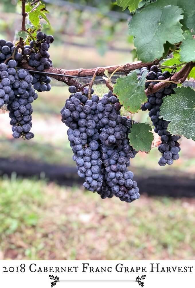 2018 Cabernet Franc Grape Harvest #grapes #cabernetfranc #nj #vineyard #wine