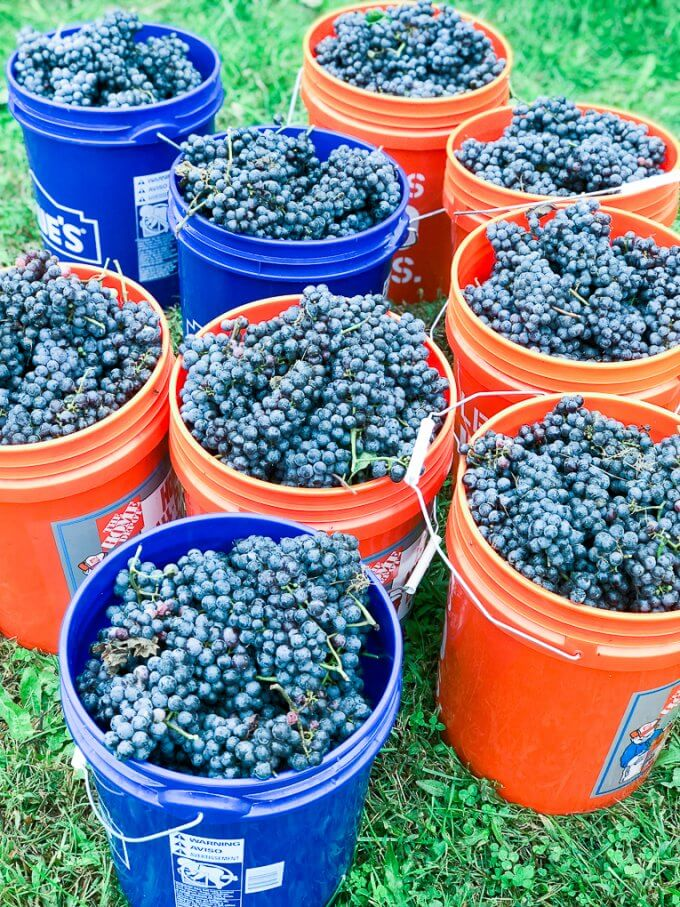 2018 Cabernet Franc Grape Harvest