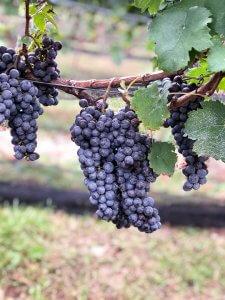 2018 Cabernet Franc Grape Harvest