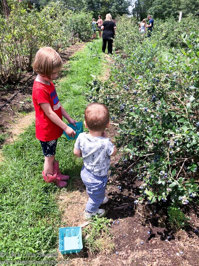 Pick Your Own Sour Cherries and Blueberries at Solebury Orchards www.lifeslittlesweets.com 680x1020